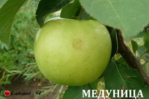 medunica