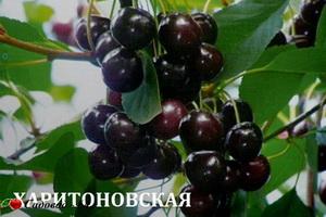 haritonovskaya