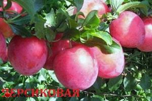 persikovaya