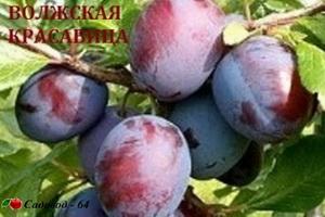 volgskaya krasavica