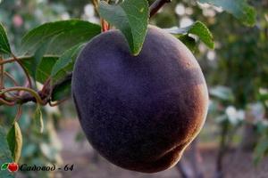 cherniy-abrikos