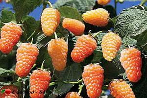 orangevoe-chudo