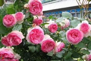 aden_rose