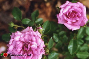 miniat-rose03