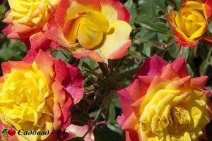 miniat-rose07