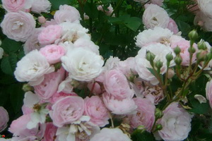 miniat-rose08