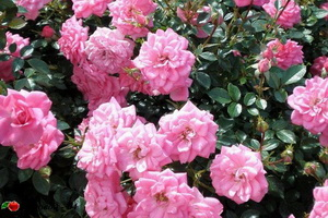 miniat-rose09