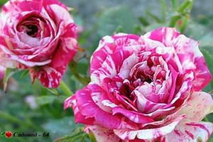 miniat-rose10