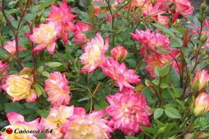 miniat-rose11