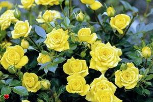 miniat-rose12