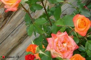 miniat-rose13