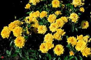 miniat-rose14