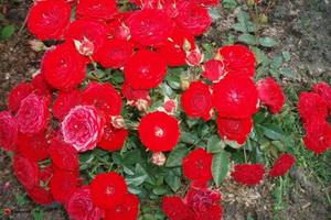 miniat-rose16