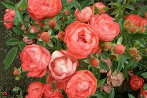 miniat-rose17
