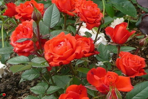 miniat-rose02