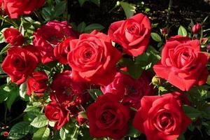 miniat-rose01