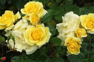 yellow-patio-rose