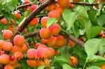 abrikos-hargrand3