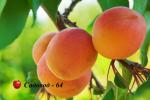 abrikos-hargrand2