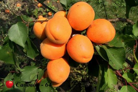 abrikos-hargrand