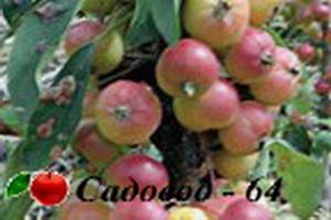 kitaika-kolonovidnaya