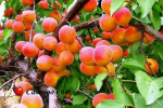abrikos-naslagdenie2