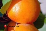 abrikos-naslagdenie