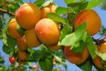 abrikos-naslagdenie3